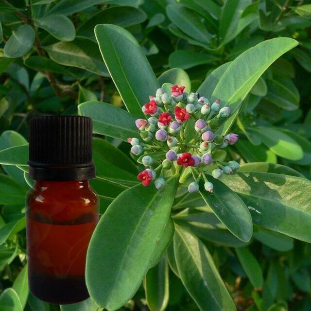 L'huile essentielle de saro